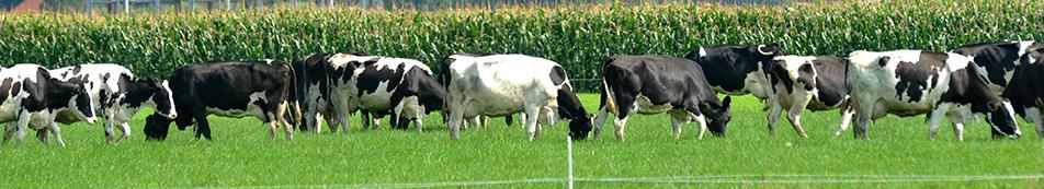 header koeien